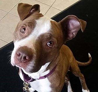 Boxer/Pit Bull Terrier Mix Dog for adoption in Dundee, Michigan - Kamalli