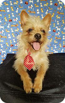 Norfolk Terrier Mix Puppy for adoption in Hartford, Connecticut - Tiny Tim