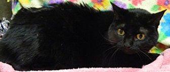 Domestic Shorthair Cat for adoption in Columbus, Nebraska - Ida