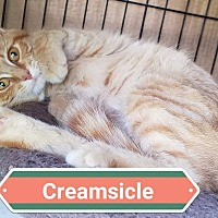 Adopt A Pet :: Creamsicle - Fayette City, PA