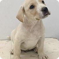 Adopt A Pet :: Half & Half Coffee Pups - Pompton Lakes, NJ