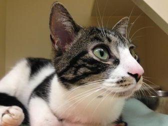 Domestic Shorthair/Domestic Shorthair Mix Cat for adoption in Dayton, Ohio - Elana