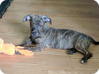 Mixed Breed (Medium) Mix Puppy for adoption in DeForest, Wisconsin - Aladdin