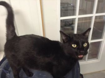 Domestic Shorthair/Domestic Shorthair Mix Cat for adoption in Spearfish, South Dakota - BeeBee