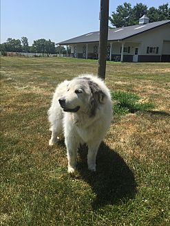 Great Pyrenees Dog for adoption in Bloomington, Illinois - Winnie