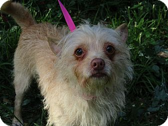 Poodle (Miniature)/Yorkie, Yorkshire Terrier Mix Dog for adoption in Hagerstown, Maryland - Ziva