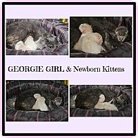 Domestic Shorthair Cat for adoption in Marietta, Ohio - Georgie Girl & Kittens