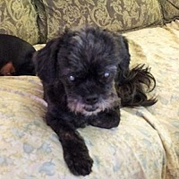 Lhasa Apso Mix Dog for adoption in Minneapolis, Minnesota - Buddy -*Blind*