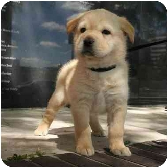 Shar Pei/Great Pyrenees Mix Puppy for adoption in Denver, Colorado - Pup-Pup