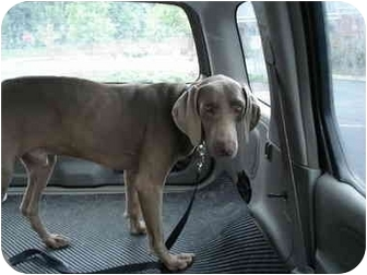 Weimaraner Dog for adoption in Marietta, Georgia - Hunter-Adopted
