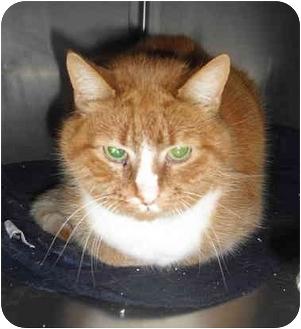 Domestic Shorthair Cat for adoption in Honesdale, Pennsylvania - Juicy