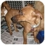 Photo 2 - Dachshund/Jack Russell Terrier Mix Dog for adoption in Encino, California - SHANNON