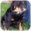 Photo 1 - Australian Shepherd/Schipperke Mix Dog for adoption in Marion, Arkansas - Abby - Urgent!!