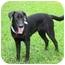 Photo 4 - Labrador Retriever Puppy for adoption in Houston, Texas - Dakota