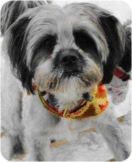 Terrier (Unknown Type, Medium)/Lhasa Apso Mix Dog for adoption in Rigaud, Quebec - George