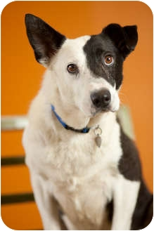 Border Collie Mix Dog for adoption in Portland, Oregon - Snickers