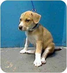 Labrador Retriever Mix Puppy for adoption in Houston, Texas - Winnie