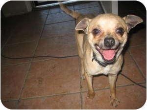 Chihuahua Mix Dog for adoption in Chandler, Arizona - Buck