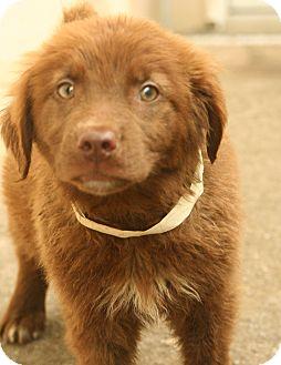 Labrador Retriever Mix Puppy for adoption in Snohomish, Washington - Truffle