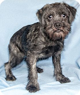 Pug/Poodle (Miniature) Mix Dog for adoption in Howell, Michigan - Pooh Bear