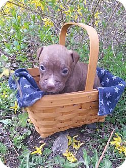 American Pit Bull Terrier Mix Puppy for adoption in Roaring Spring, Pennsylvania - Male # 1
