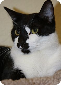 Domestic Shorthair Cat for adoption in Phoenix, Arizona - Alfie