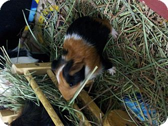Guinea Pig for adoption in Fullerton, California - Mickey