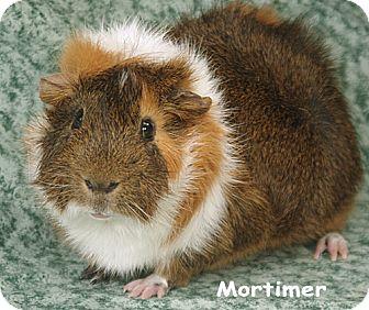 Guinea Pig for adoption in Santa Barbara, California - Mortimer