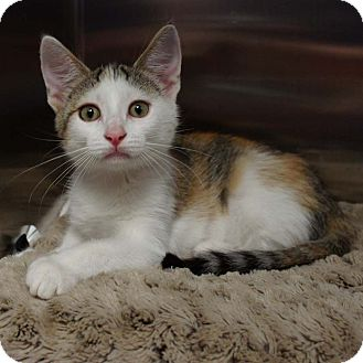 Domestic Shorthair Kitten for adoption in Naperville, Illinois - Cleo