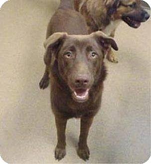 Labrador Retriever Mix Puppy for adoption in Las Vegas, Nevada - Camilla