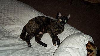 Domestic Shorthair Cat for adoption in Fort Pierce, Florida - Kit Cat