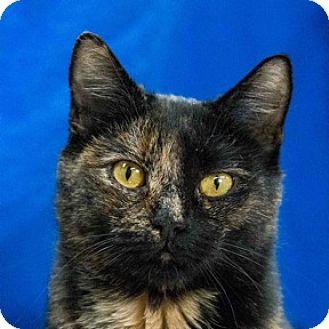 Domestic Shorthair Cat for adoption in Calgary, Alberta - Mama Cass