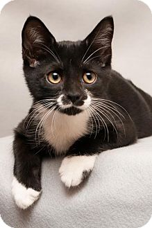 Domestic Shorthair Kitten for adoption in Cary, North Carolina - Bingo--ADOPTED