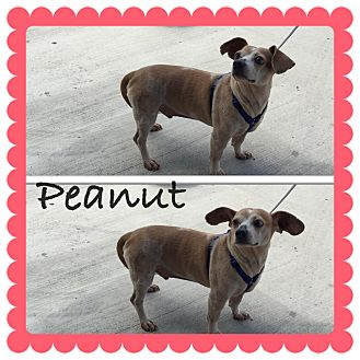 Chihuahua Mix Dog for adoption in Brownsville, Texas - Peanut