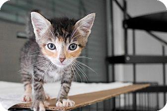 Calico Kitten for adoption in Montclair, California - Pansey