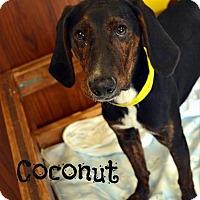 Adopt A Pet :: Coconut - Toledo, OH