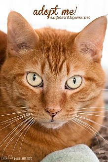 Domestic Shorthair Cat for adoption in Lakewood, Colorado - Sunshine (and Chung Wang)