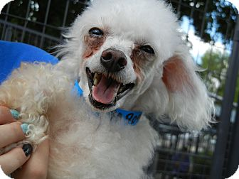 Poodle (Toy or Tea Cup) Mix Dog for adoption in Houston, Texas - Lil Spike