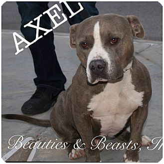 Pit Bull Terrier Mix Dog for adoption in Wichita, Kansas - Axel