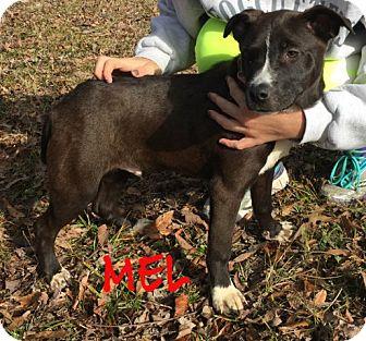 Labrador Retriever/Terrier (Unknown Type, Medium) Mix Puppy for adoption in Brattleboro, Vermont - Mel