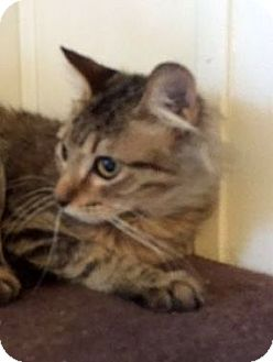 Domestic Mediumhair Cat for adoption in Porter, Texas - Golden Boy