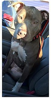 American Pit Bull Terrier Mix Dog for adoption in Anchorage, Alaska - Sophie
