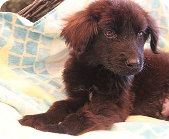 Labrador Retriever/Border Collie Mix Puppy for adoption in Bedminster, New Jersey - Bacall