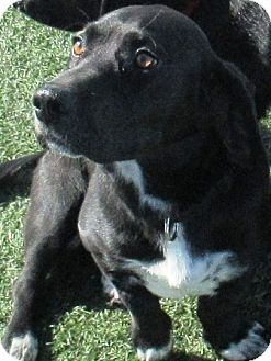 Basset Hound/Labrador Retriever Mix Dog for adoption in Lloydminster, Alberta - Daisy