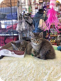 Domestic Shorthair Kitten for adoption in Middleton, Wisconsin - Elaine