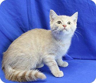 Domestic Shorthair Kitten for adoption in Winston-Salem, North Carolina - Buff-Puff
