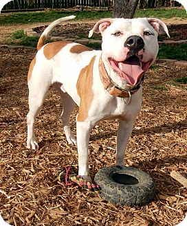 American Bulldog/American Pit Bull Terrier Mix Dog for adoption in O'Fallon, Missouri - Dash *excellent running buddy*