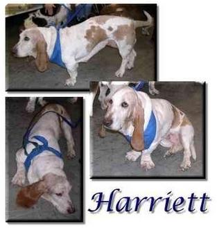 Basset Hound Dog for adoption in Marietta, Georgia - Harriett