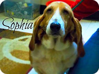 Basset Hound Dog for adoption in Defiance, Ohio - Sophia
