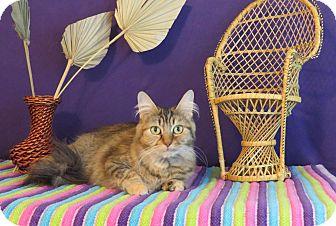 Persian Cat for adoption in Roanoke, Texas - Tinsley